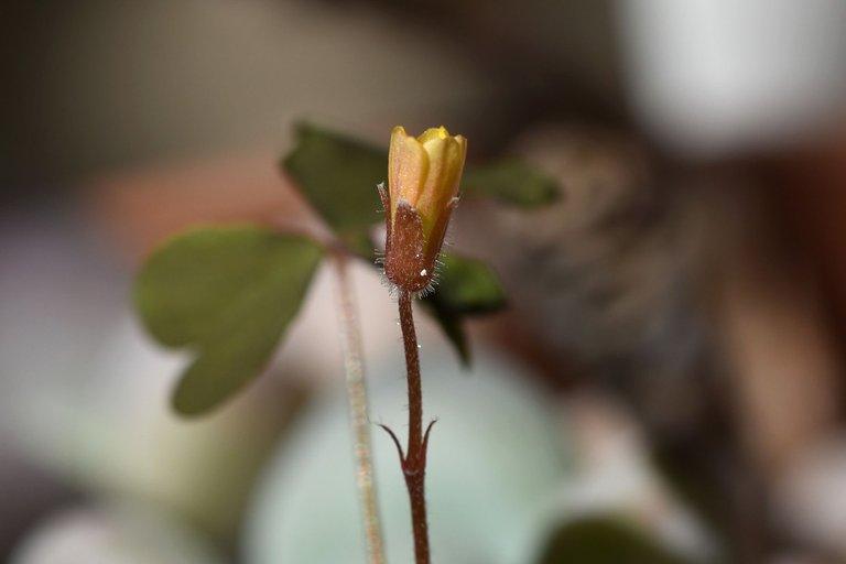 Pachyphytum Oviferum oxalis 8.jpg