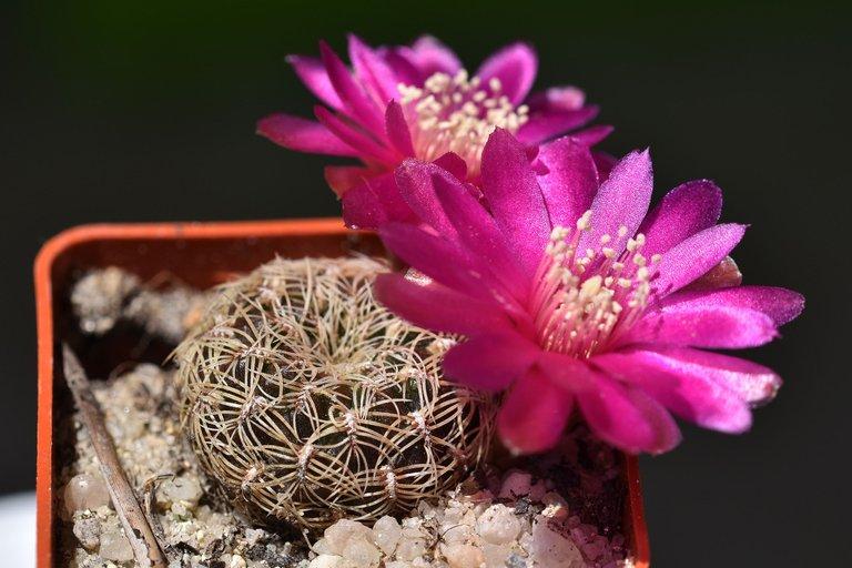 sulcorebutia albissima flower 2021 2.jpg