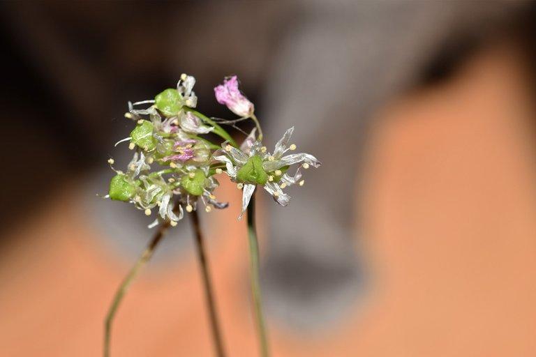 suzi paws garlic flower 1.jpg