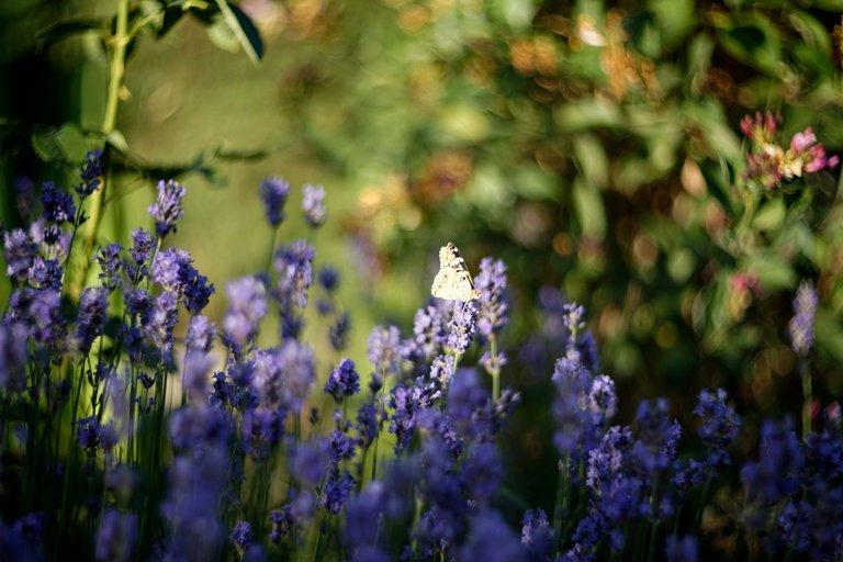 lavender butterflies garden helios 3.jpg