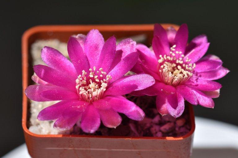 sulcorebutia albissima flower 2021 3.jpg