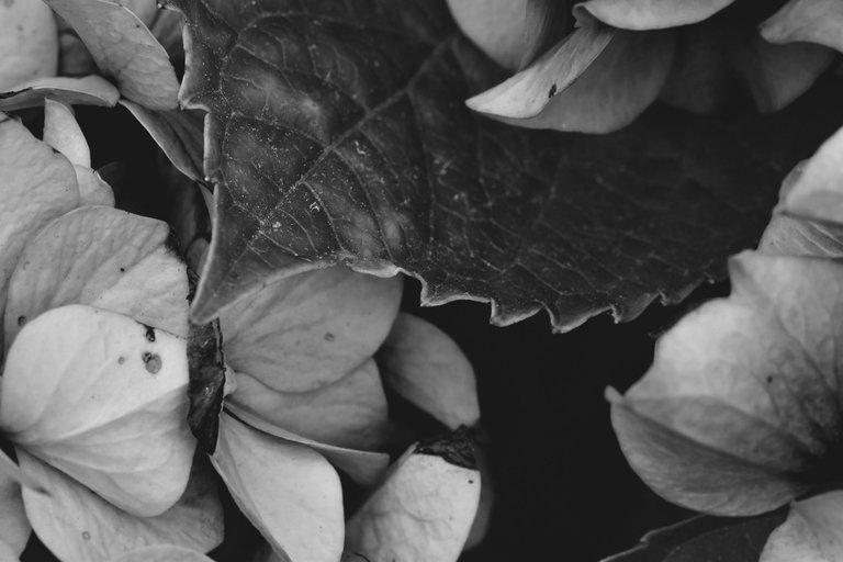 hydrangea bw 7.jpg