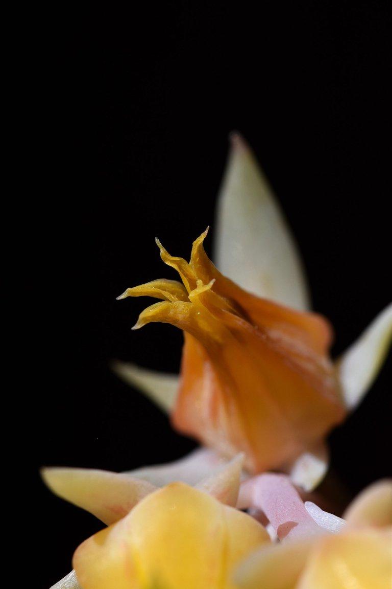 Echeveria yellow flowers 2.jpg