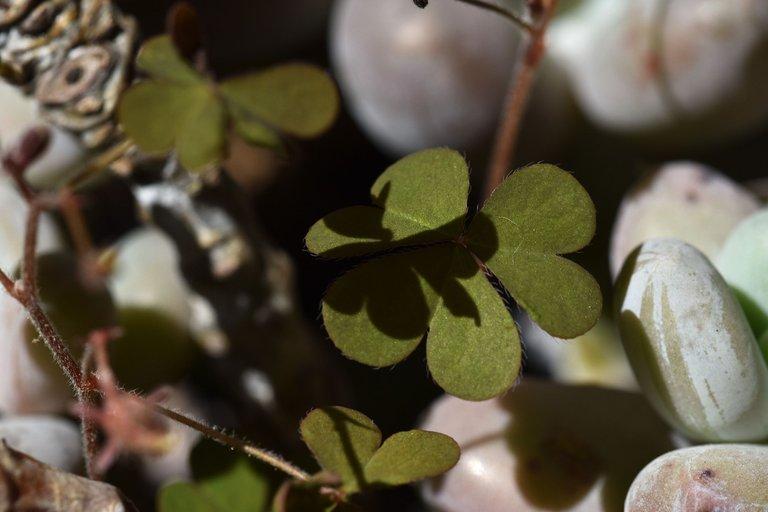 Pachyphytum Oviferum oxalis 1.jpg