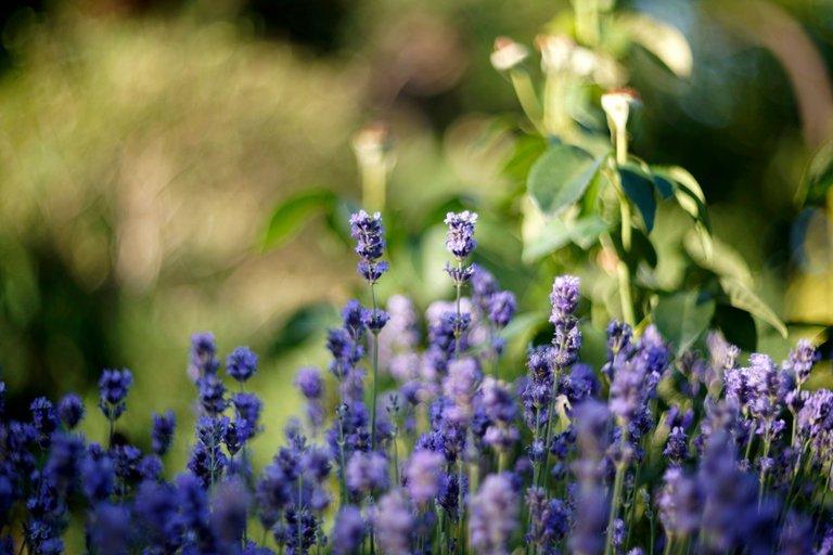 lavender garden helios.jpg