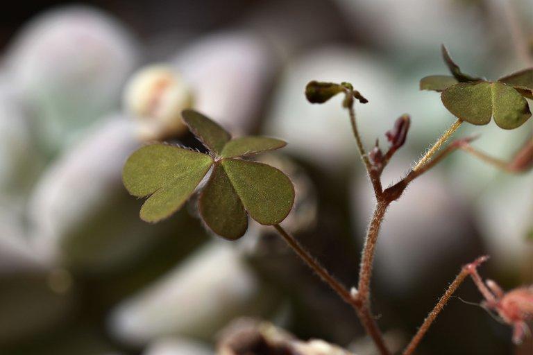 Pachyphytum Oviferum oxalis 4.jpg