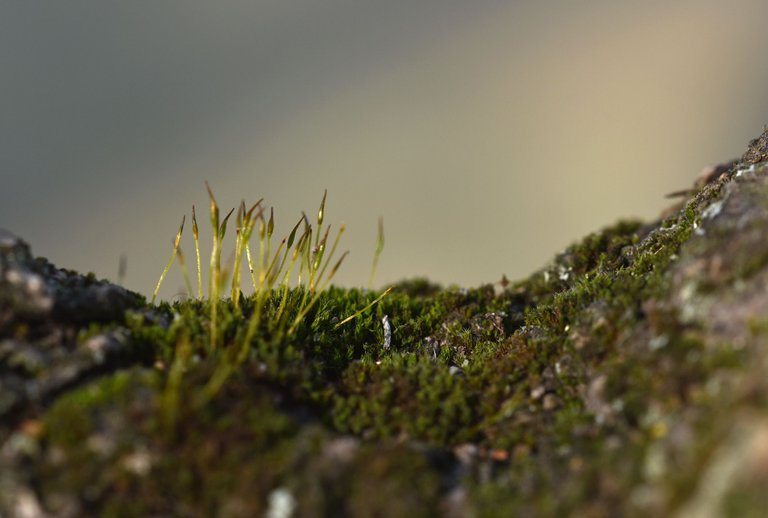 moss spored olive tree.jpg