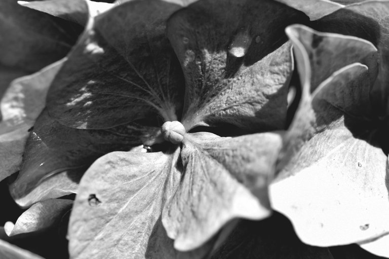 hydrangea bw 2.jpg