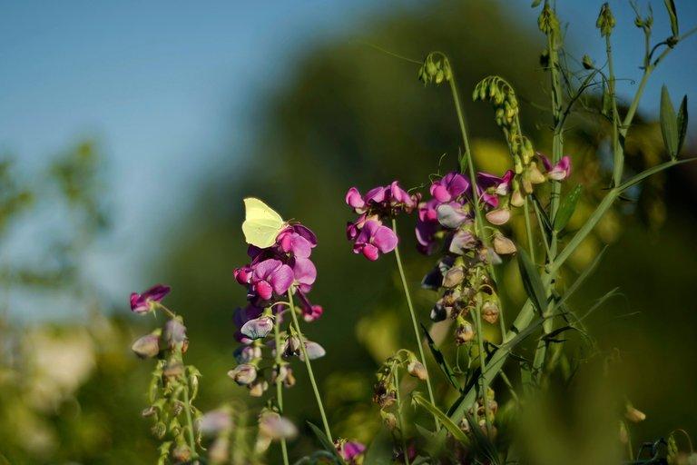 sweetpea butterfly helios 1.jpg