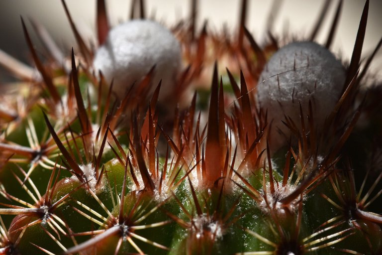 Notocactus mueller-melchersii buds 2021 7.jpg