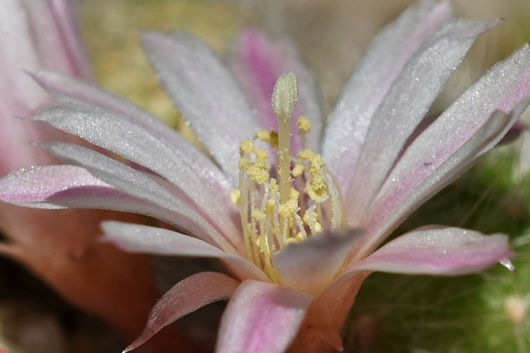 Rebutia Albiflora flower 2021 5.jpg