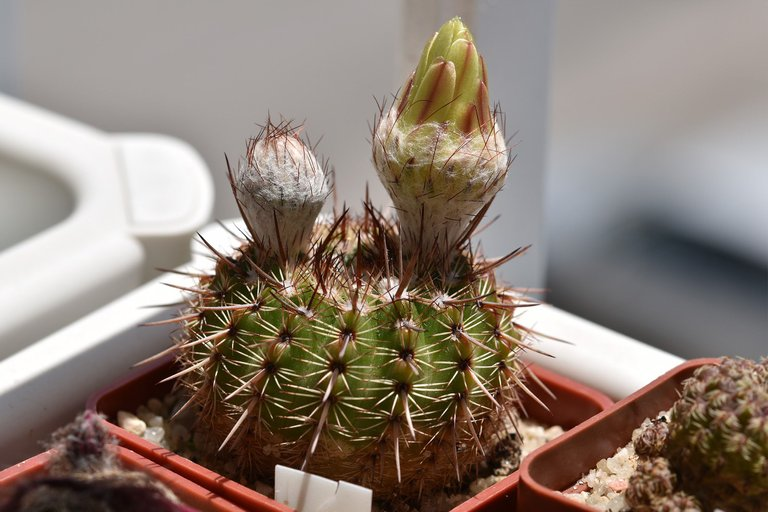 Notocactus mueller-melchersii buds 2021 8.jpg