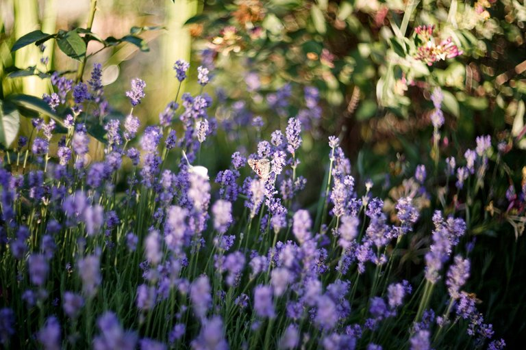 lavender butterflies garden helios 2.jpg