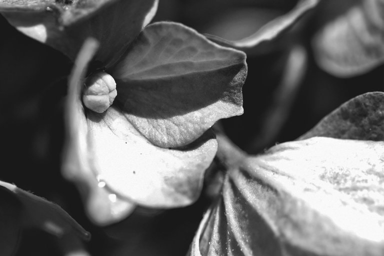 hydrangea bw 1.jpg