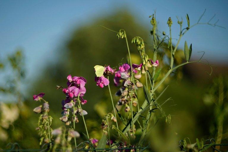 sweetpea butterfly helios 2.jpg