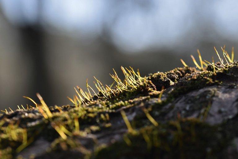moss olive tree 5.jpg