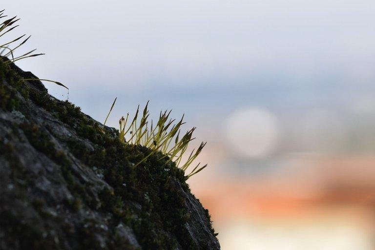 moss olive tree 1.jpg
