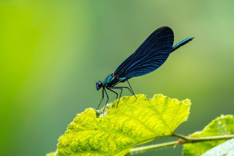 BlauflügelPrachtlibelle Calopteryx virgo_P1913098.jpg