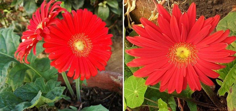 Barberton daisy.jpg