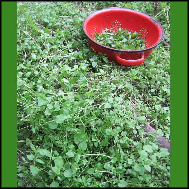 bowl of picked chickweed in green mat of chickweed.JPG