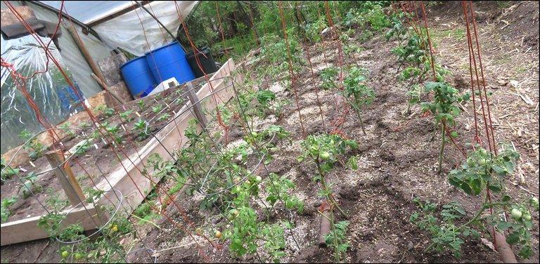 tomato bed in covered garden.JPG