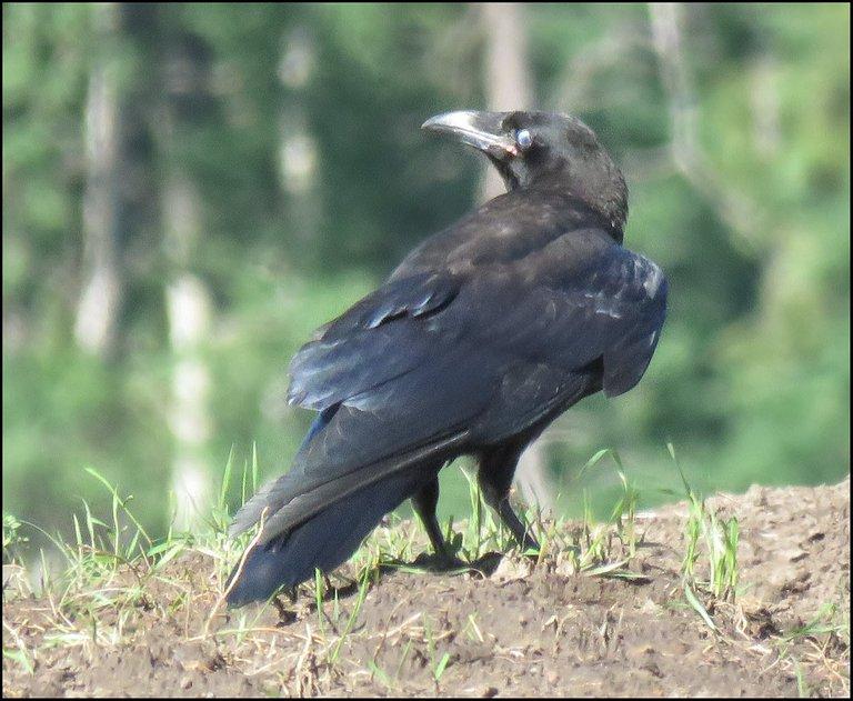 close up raven looking back over shoulder.JPG