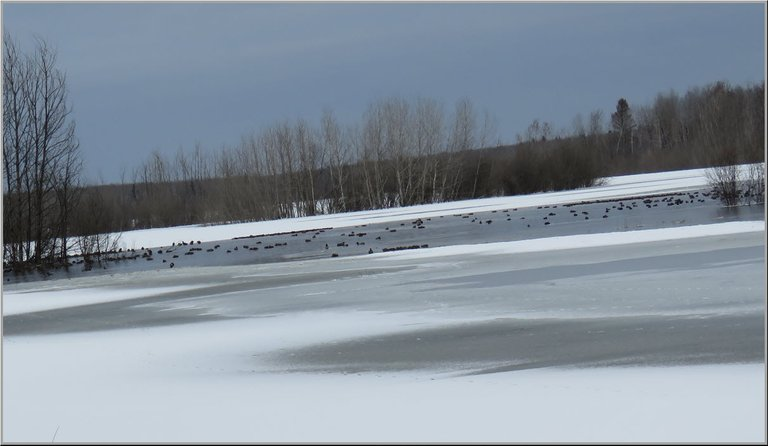 overview of partially frozen pond with ducks on it.JPG