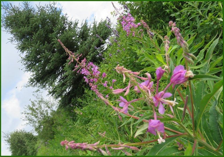 close up fireweed bloom with spruce tree background.JPG