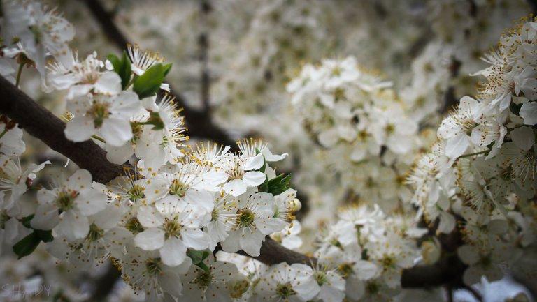 цвіте алича 4.jpg