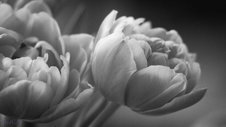 тюльпани 3.jpg