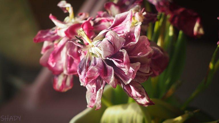 тюльпани зів'ялі 2.jpg