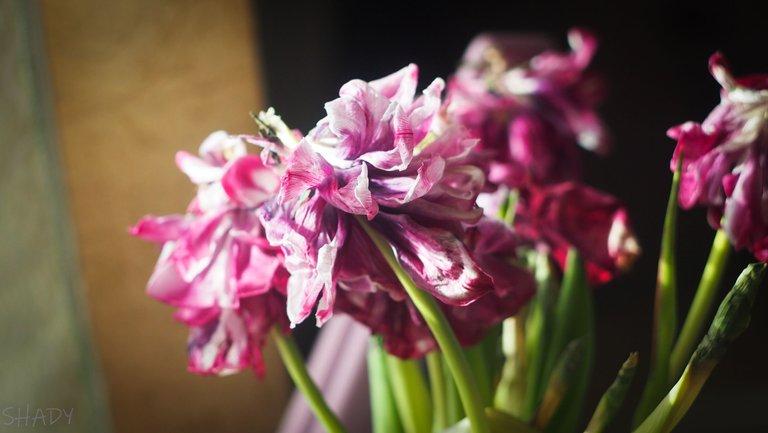 тюльпани зів'ялі 1.jpg