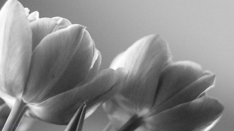 тюльпани 5.jpg