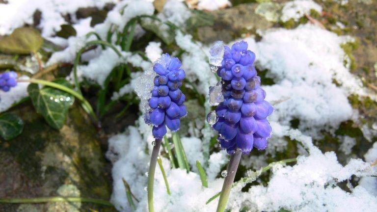gartenblumen_im_schnee_5_traubenhyazinthe.jpg