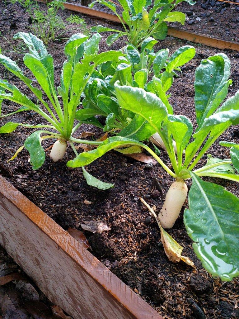gardening raddish with uncle jesse.jpg