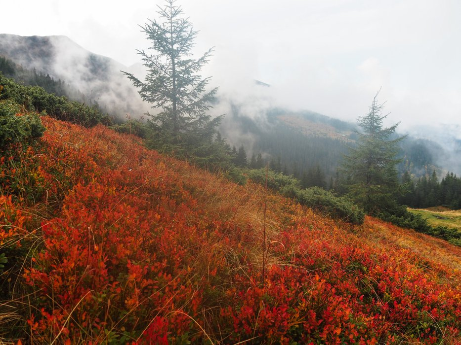 The leaves of mountain blueberries have already turned red