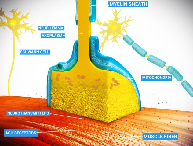 An example of chemical synapse by the release of neurotransmitters like acetylcholine or glutamic acid