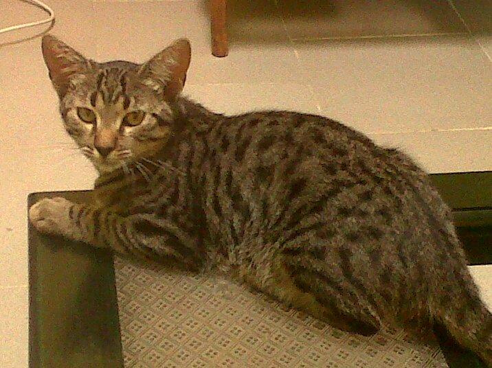 gato gris salvaje.jpg