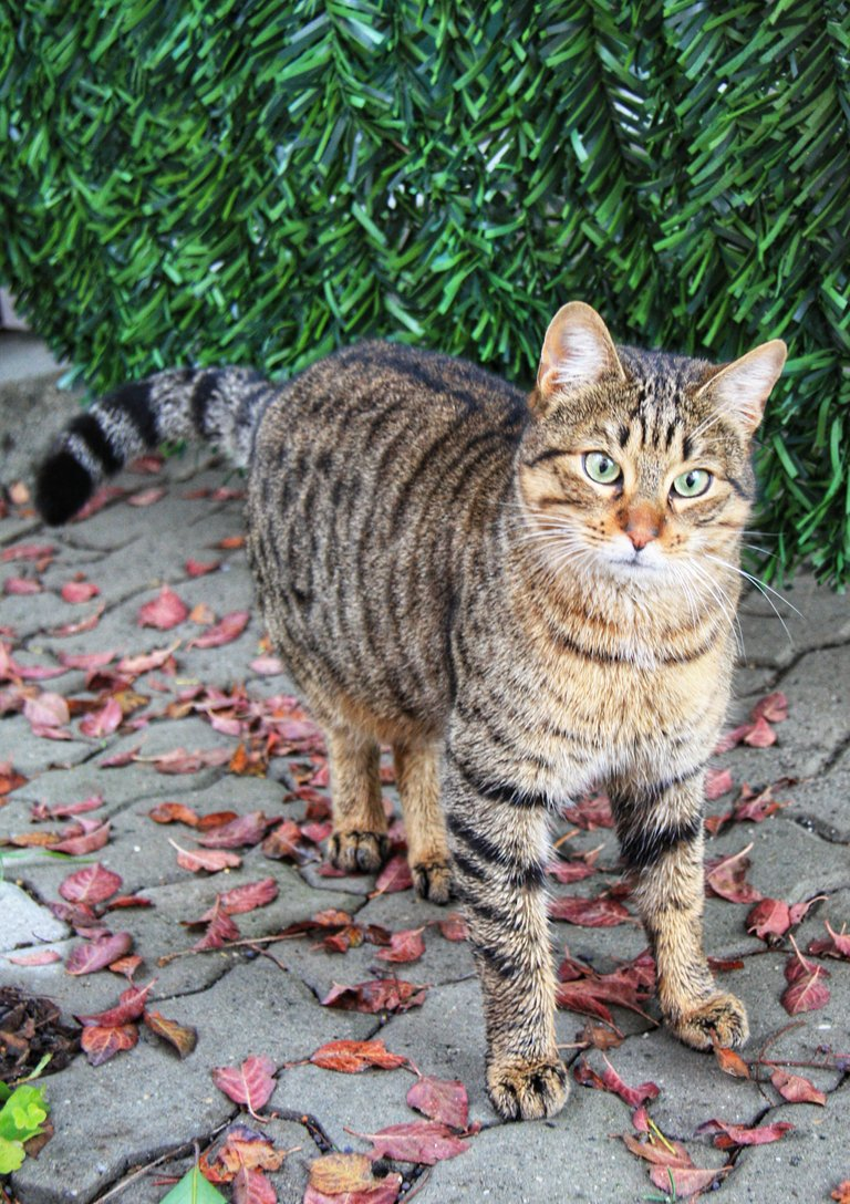 strutting cat...
