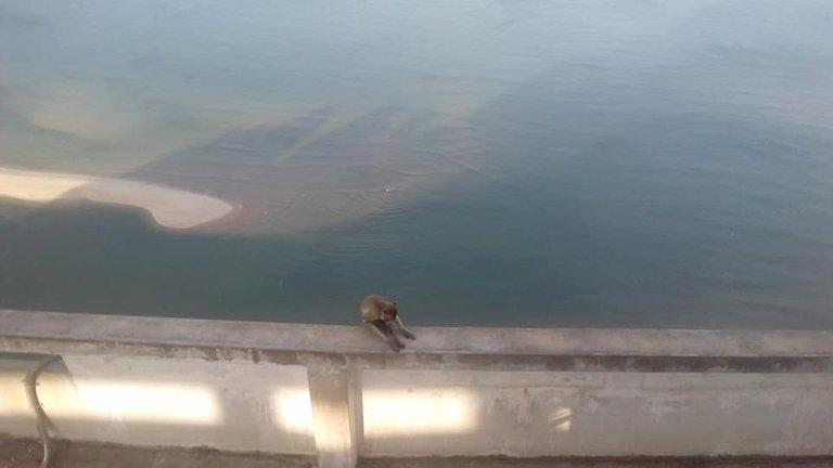 Pkk monkey.jpg