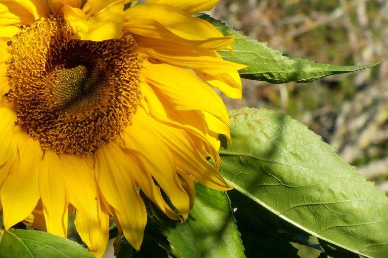0136Sunflower.jpg