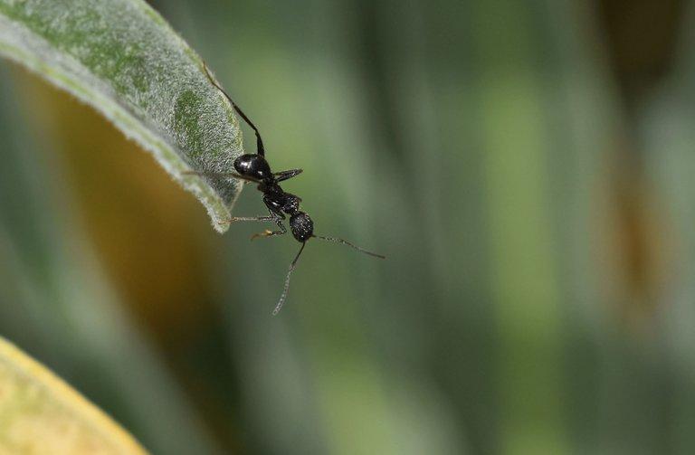 Black ant leaf 2.jpg