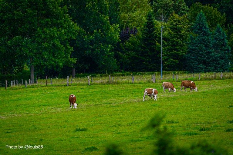 Wiese mit Kühen im Tal der Wewelsburg