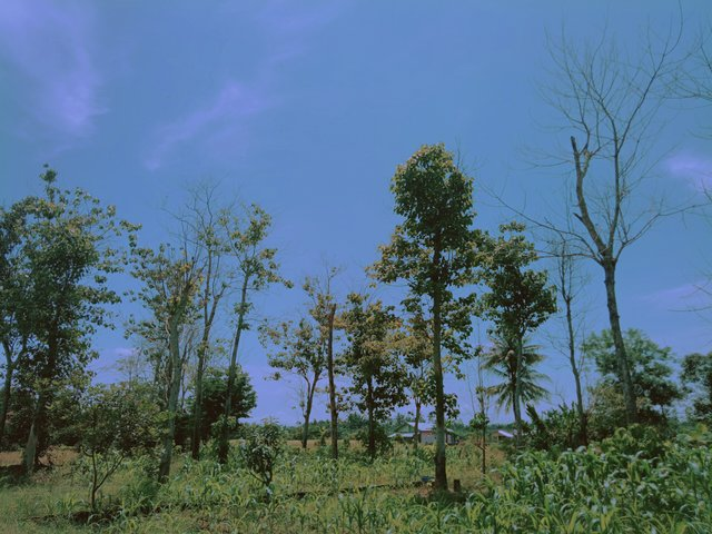 View of teak tree forest near the rice fields