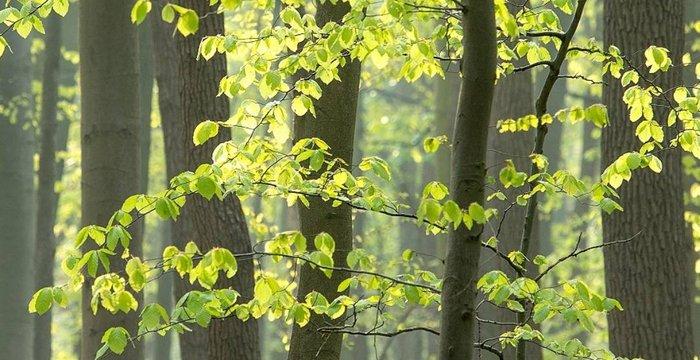 Bluebells at the forest of Hallen Belgium.   .