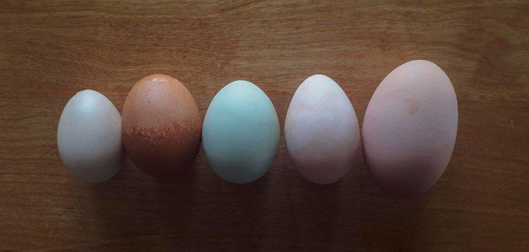 EggSize.jpg