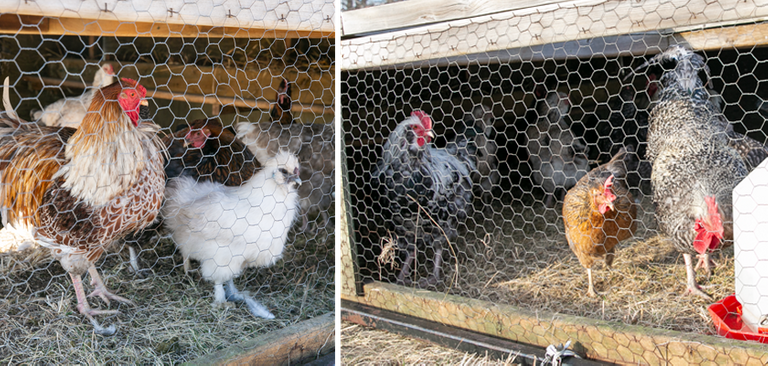 Chickens03.png