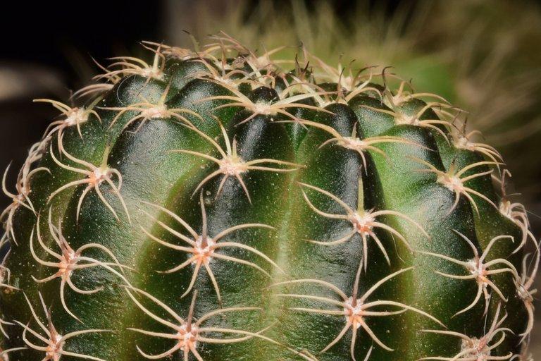 Echinopsis ancistrophora ssp arachnacantha (2).jpg