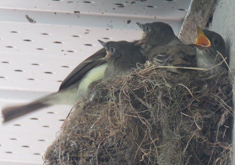 momma phoebe bird comes to nest chicks have beaks wide open.JPG
