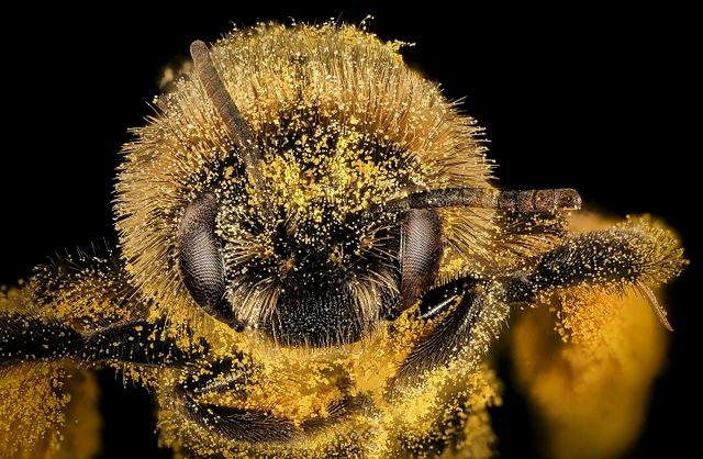 Melissodes desponsus covered in pollen